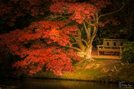 A photograph of an acer tree and seat by the lake at Sheffield Park Gardens