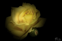 Chartwell Rose