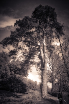 A monochrome photograph of a tree at Wakehurst Place in West Sussex