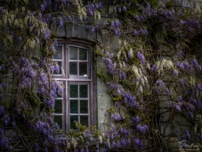 Wisteria on the window