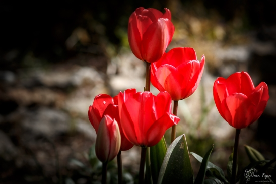 A photograph of tulips with their curved petals.