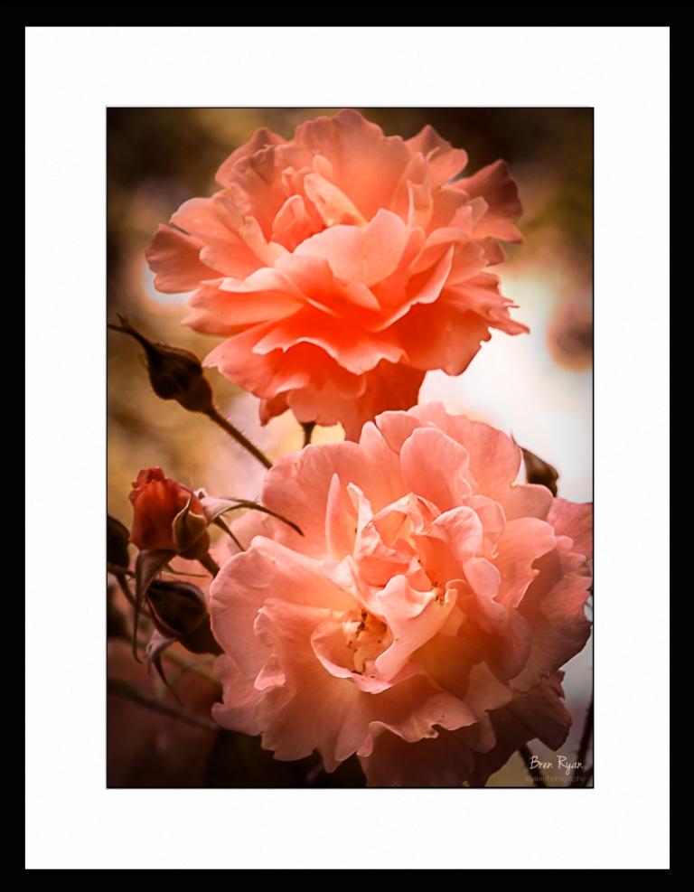 Apricot-Roses-IMG_6709-Framed.jpg