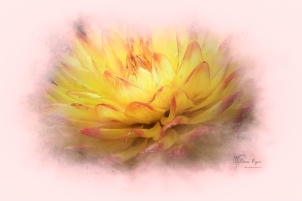A photograph of a dahlia taken at Pashley Manor processed, in Color Efex Pro and Topaz Impression 2.