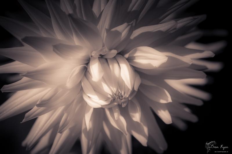 Chartwell Chrysanthemum