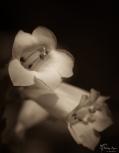Flower from Mount Ephraim