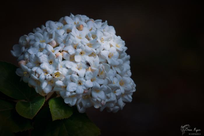Flower of Scotney