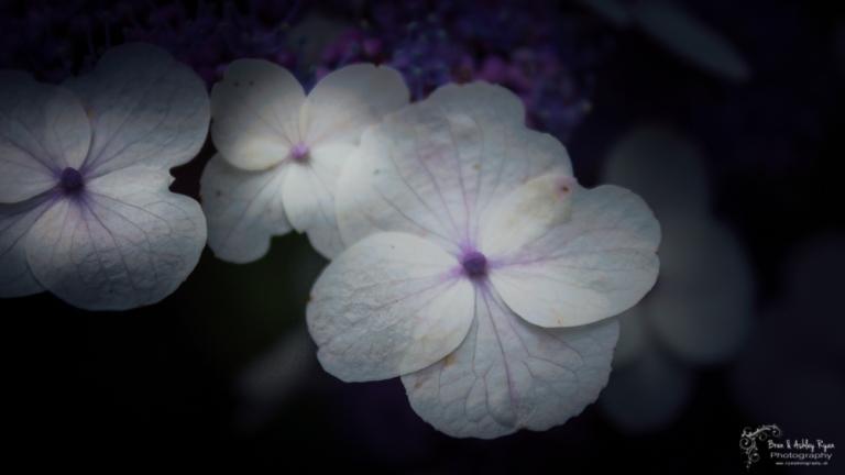 Hydrangea bloom from Scotney