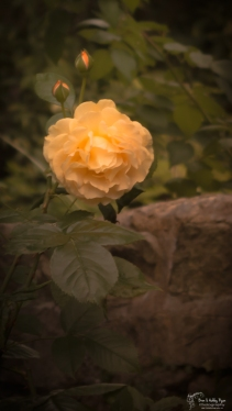Rose of Stoneacre