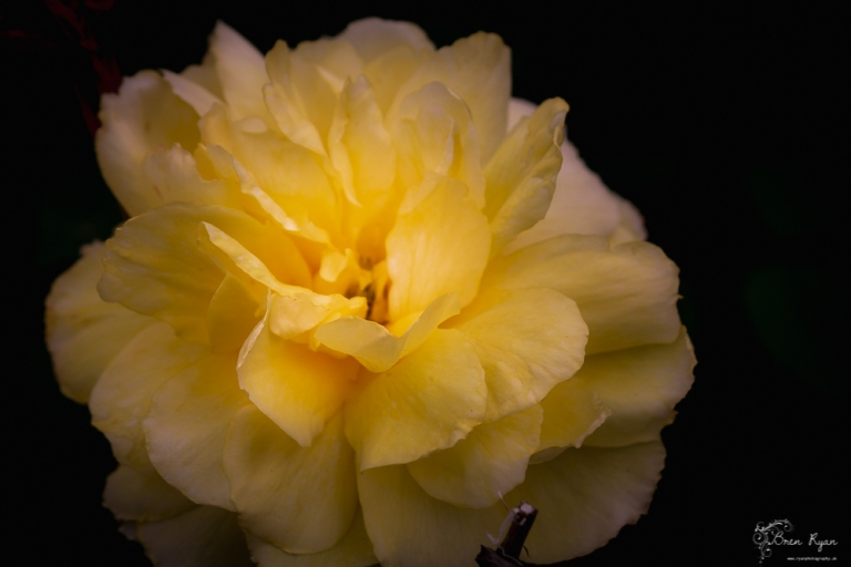 Yellow Rose of Nymans