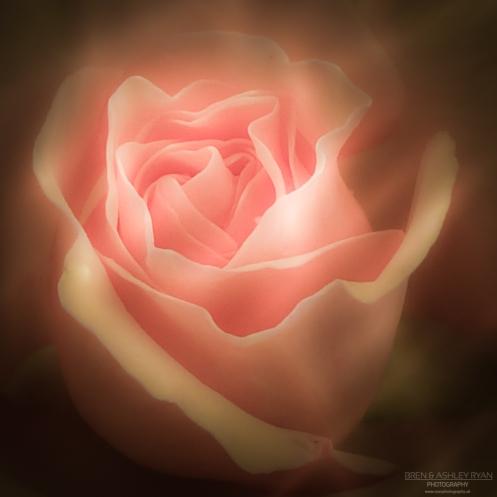 Bateman Rose