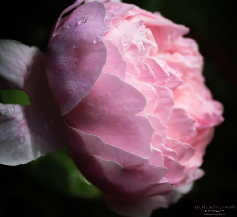 Clandon Park Rose