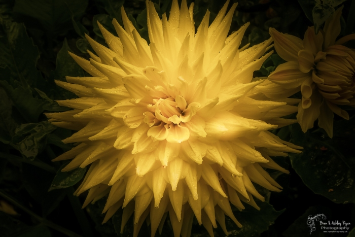 Dahlia from Anglesey Abbey