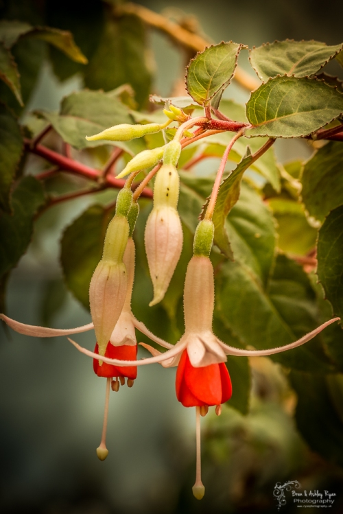 Fuschia from Hall Place