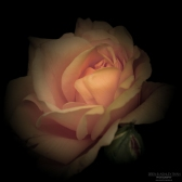 Rose of Chartwell
