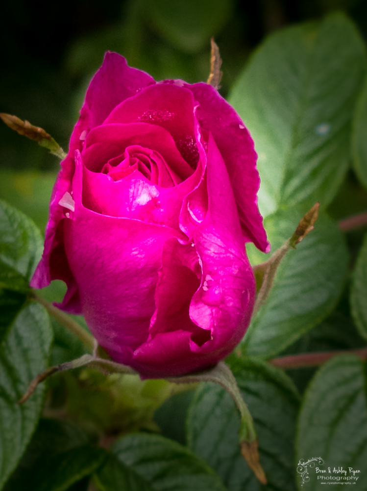 Rose of Nostell
