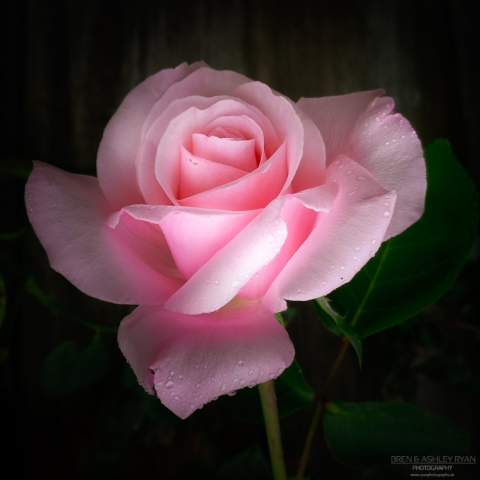 Smallyhythe Rose