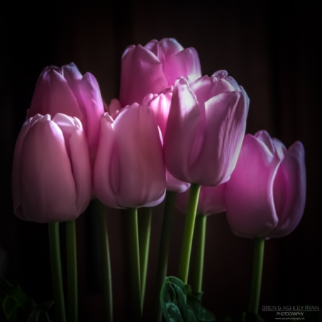 Tulips from Scotney