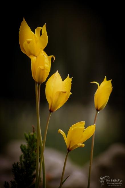 Yellow flowers of Emmetts