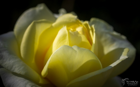 Yellow rose of Chartwell