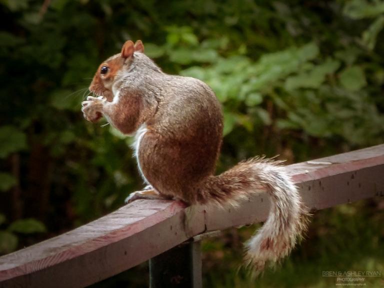 Kelsey Squirrel
