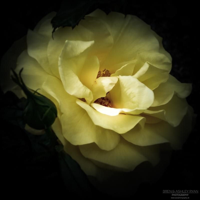 Morden Hall Rose