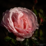 A photograph of a pink rose taken at Hall Place in Bexley, London.