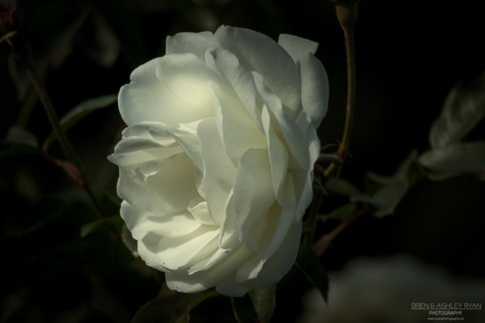 Rose from Hall Place