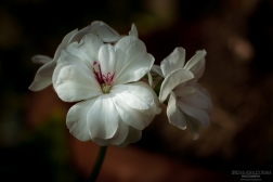 A photograph of white flowers taken within the glasshouse of Hall Place.