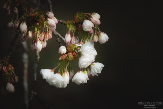 Blossom on a tree at Merriments Gardens in East Sussex