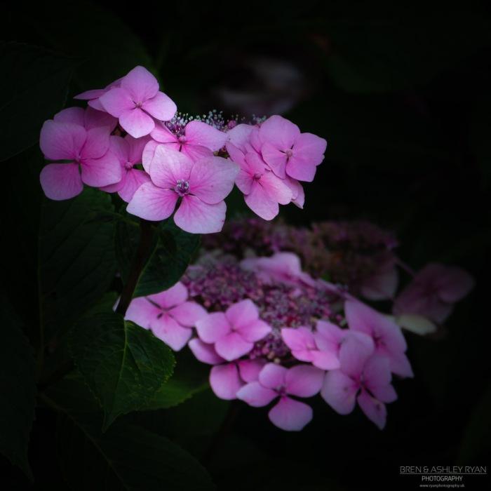 Hydrangea from Pashley