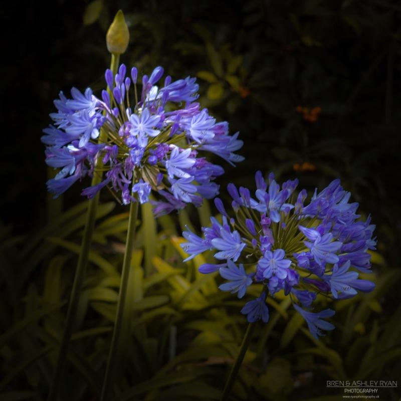 Purple Flowers from Carmel