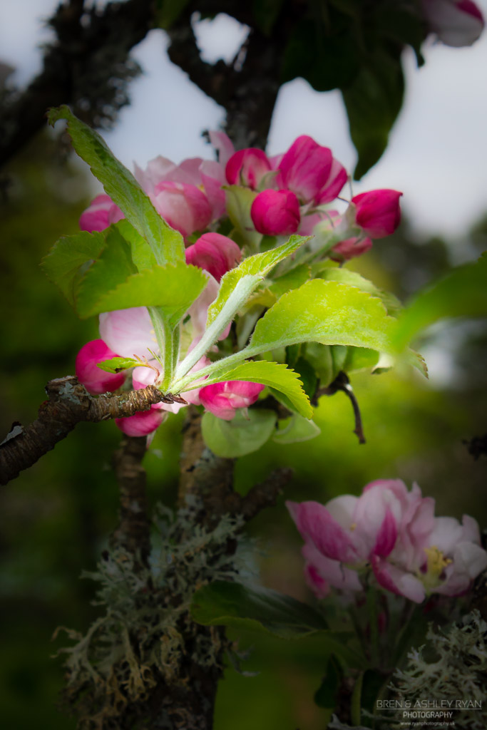Blossom of Batemans