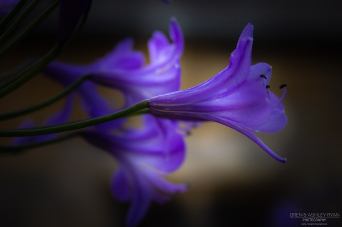Purple flower of Scotney