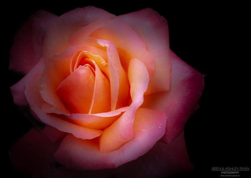 Scotney Rose