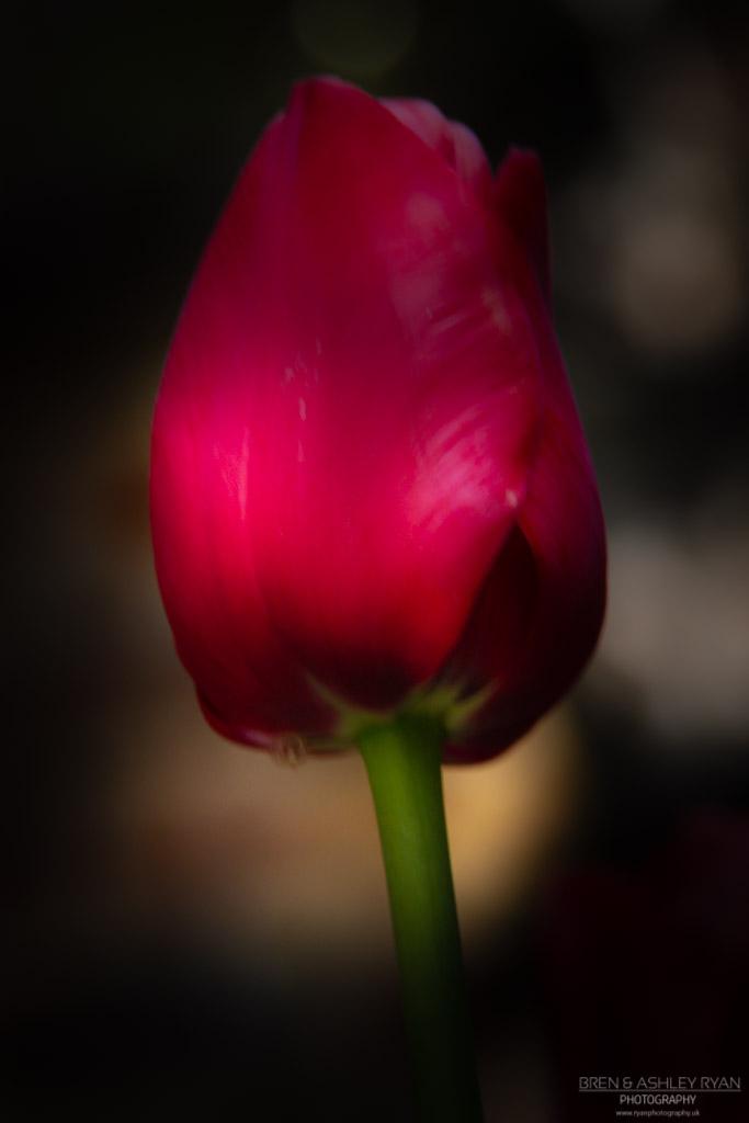 Tulip from Dixter