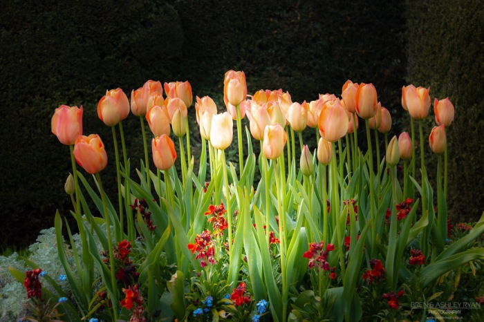 Tulips from Dixter