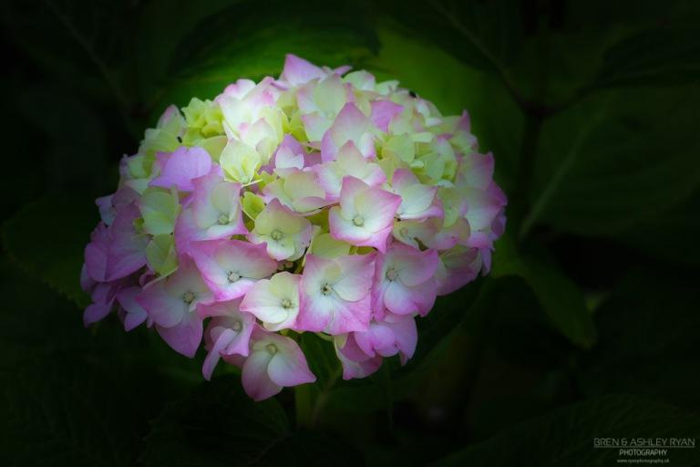 Hydrangea from Quex Park