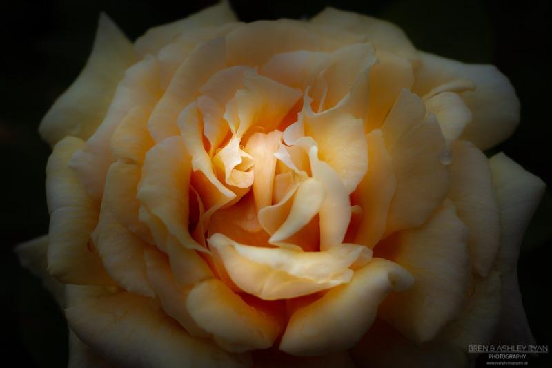 Rose of Riverhill