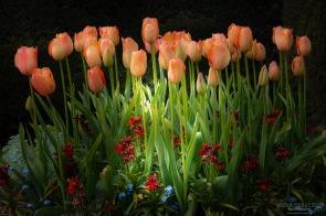 Salmon Tulips