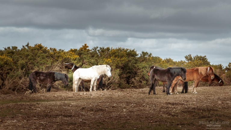 New Roest Ponies