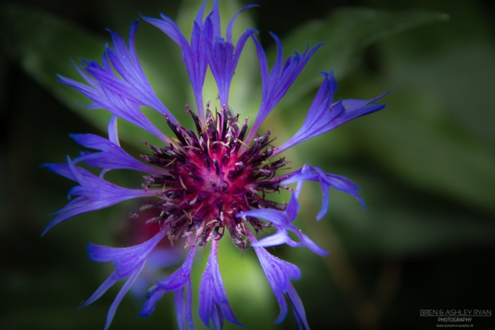 Nymans Flower