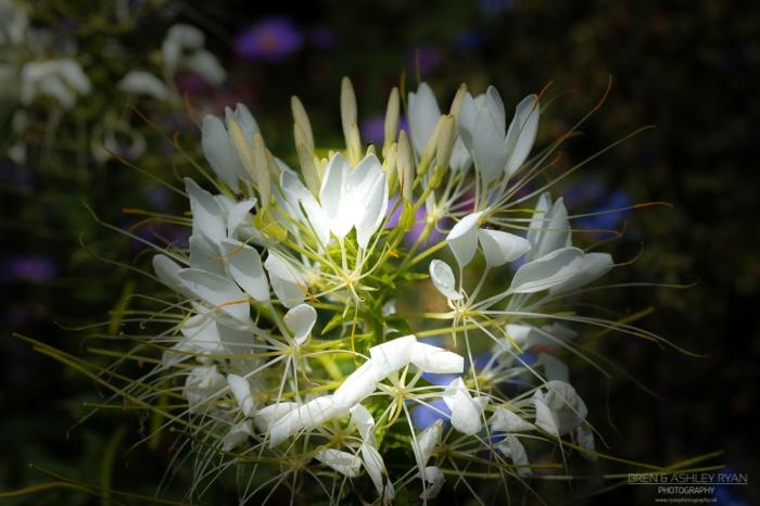 White flowers from Sissinghurst
