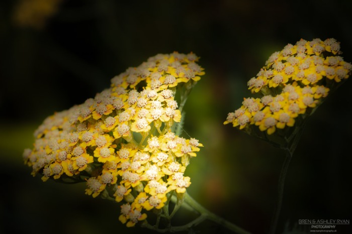 Yellow flowers from Salomons
