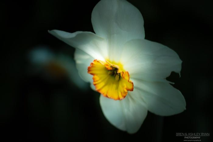 Doddington Daffodil