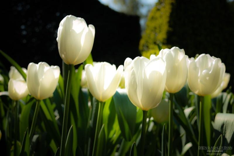 Doddington Tulips