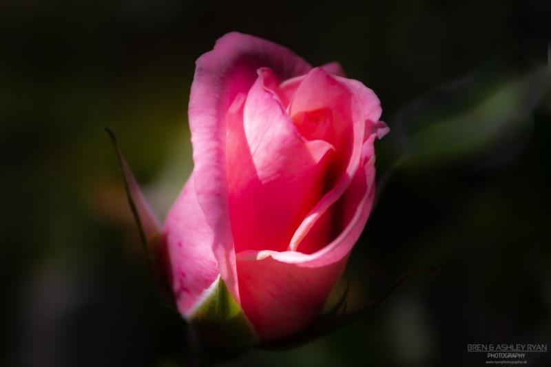 Rose of Walmer