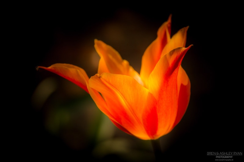 Tulip from Doddington