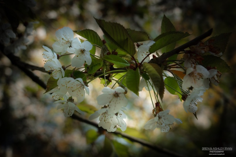 Blossom of Doddington