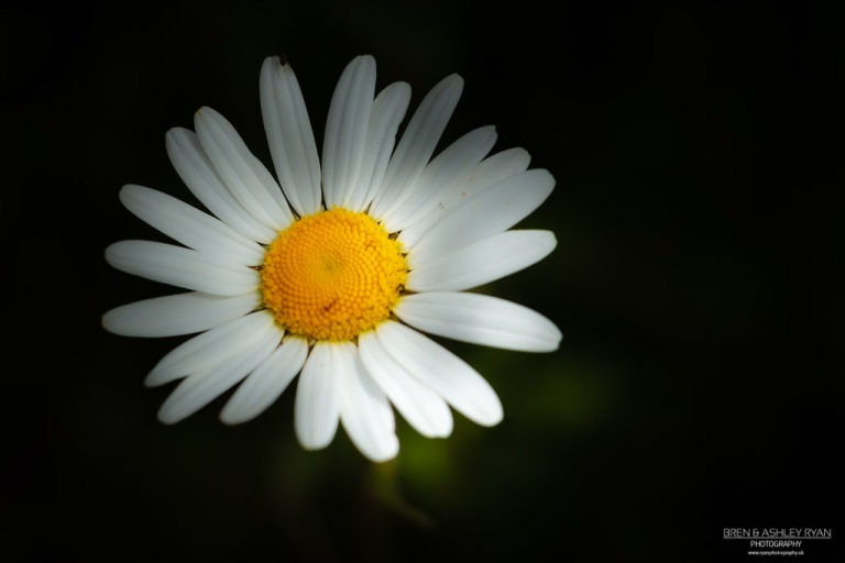 Daisy of Scotney