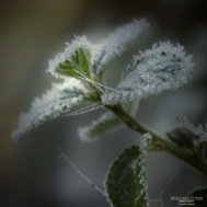 Frosted Leave